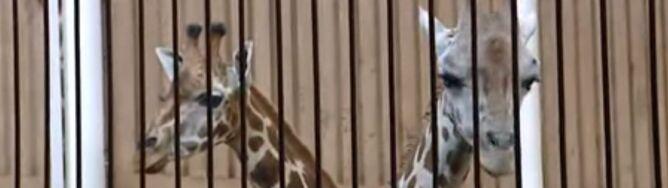 Kolejna śmierć żyrafy w łódzkim zoo. Padła Lokatka