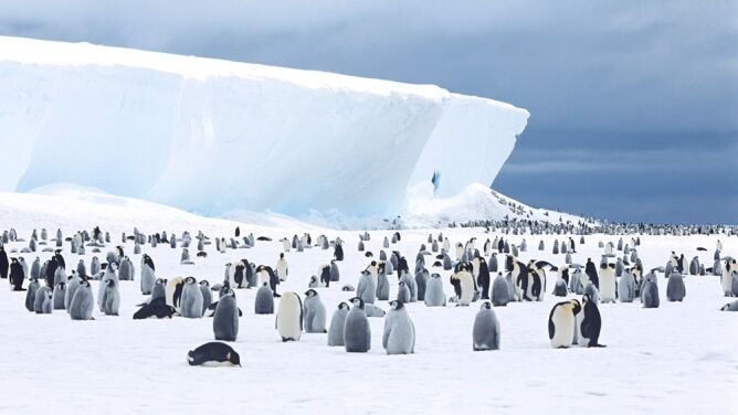 Tysiące piskląt największych pingwinów na świecie zginęły. Nowe się nie wykluwają