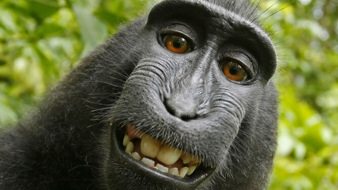 Małpa nie ma praw do zdjęcia, którego jest autorem