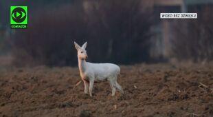Sarna albinos zauważona w Dębicy